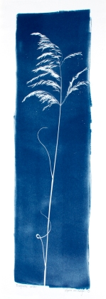 eragrostis rotifer