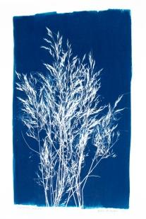 stipagrostis uniplumis